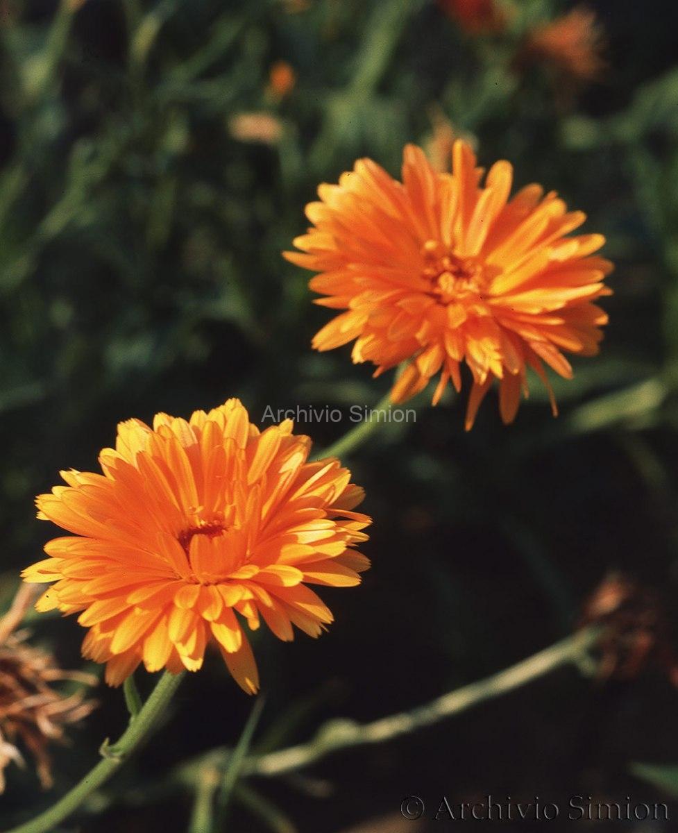 Botanica-fiori-47