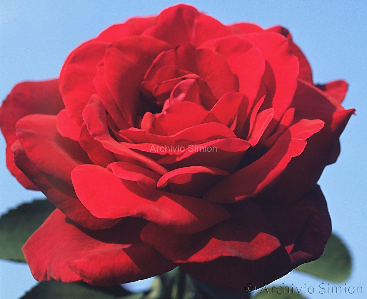 Botanica-fiori-74