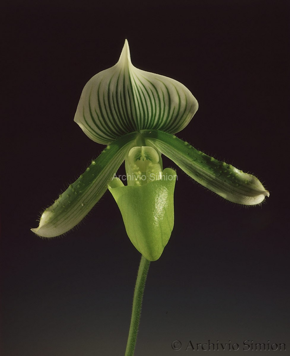 Botanica-fiori-orchidea-79
