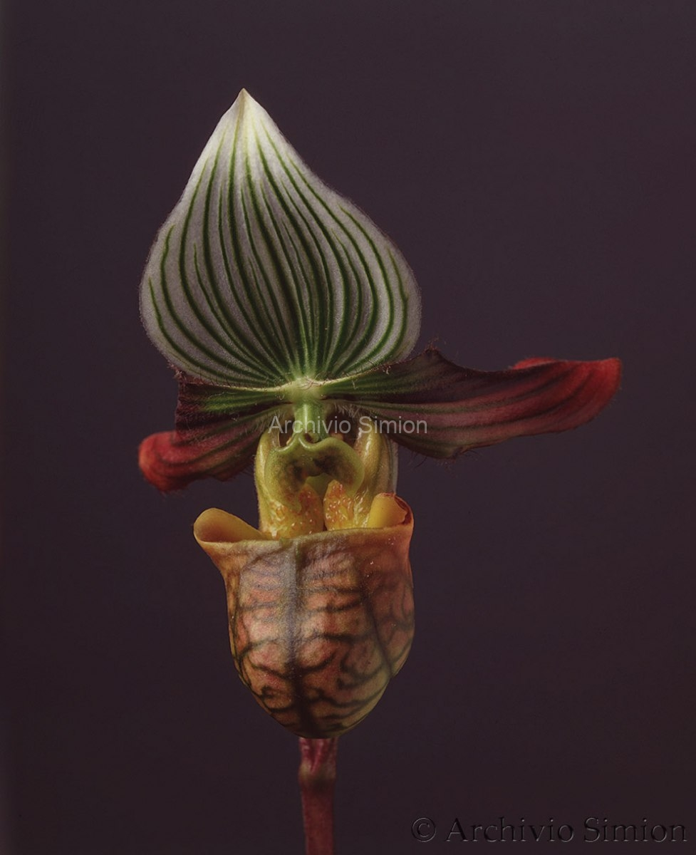 Botanica-fiori-orchidea-80