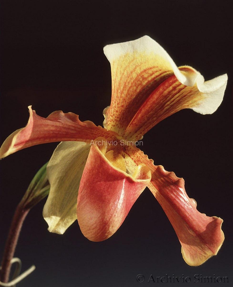 Botanica-fiori-orchidea-81