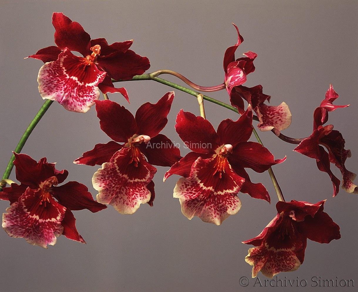 Botanica-fiori-orchidea-82