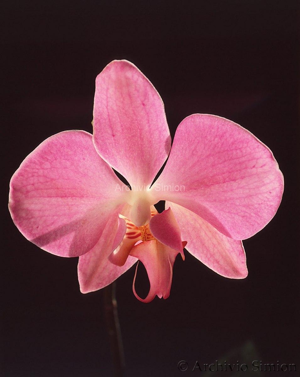 Botanica-fiori-orchidea-89
