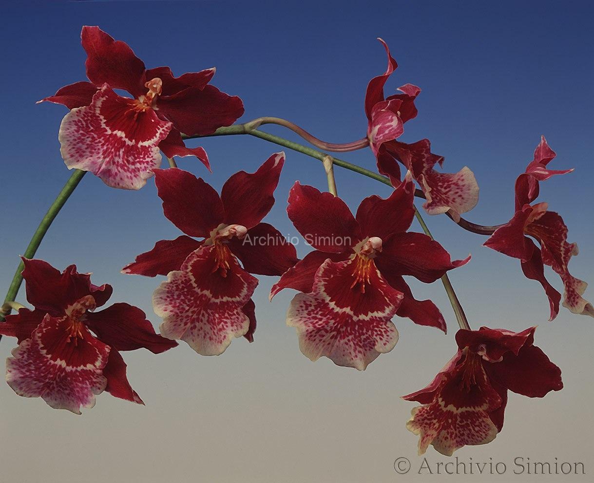 Botanica-fiori-orchidea-92
