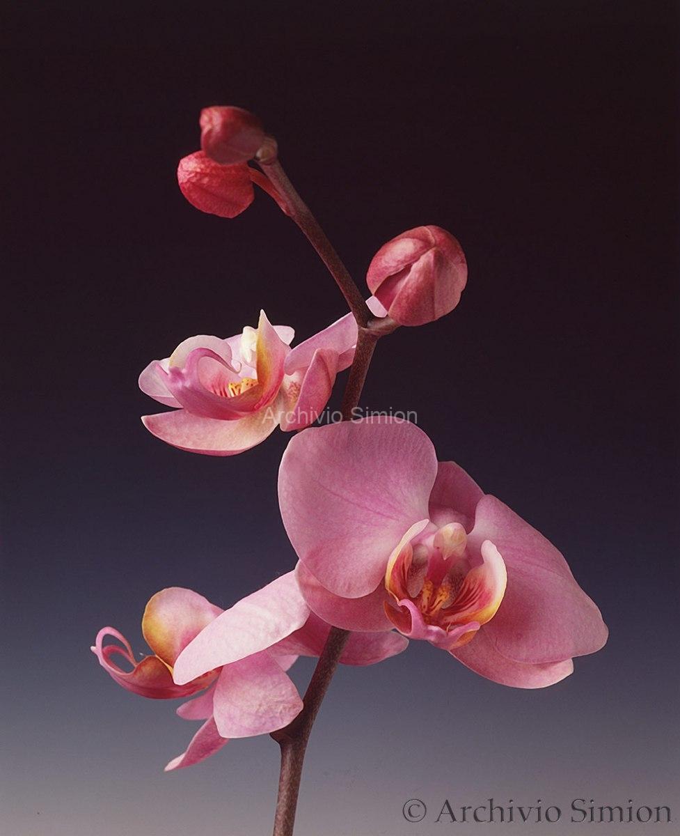 Botanica-fiori-orchidea-94