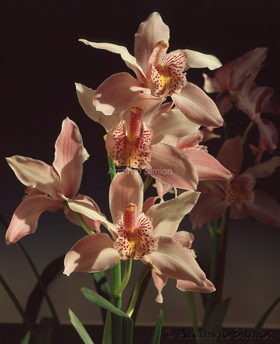 Botanica-fiori-orchidea-95