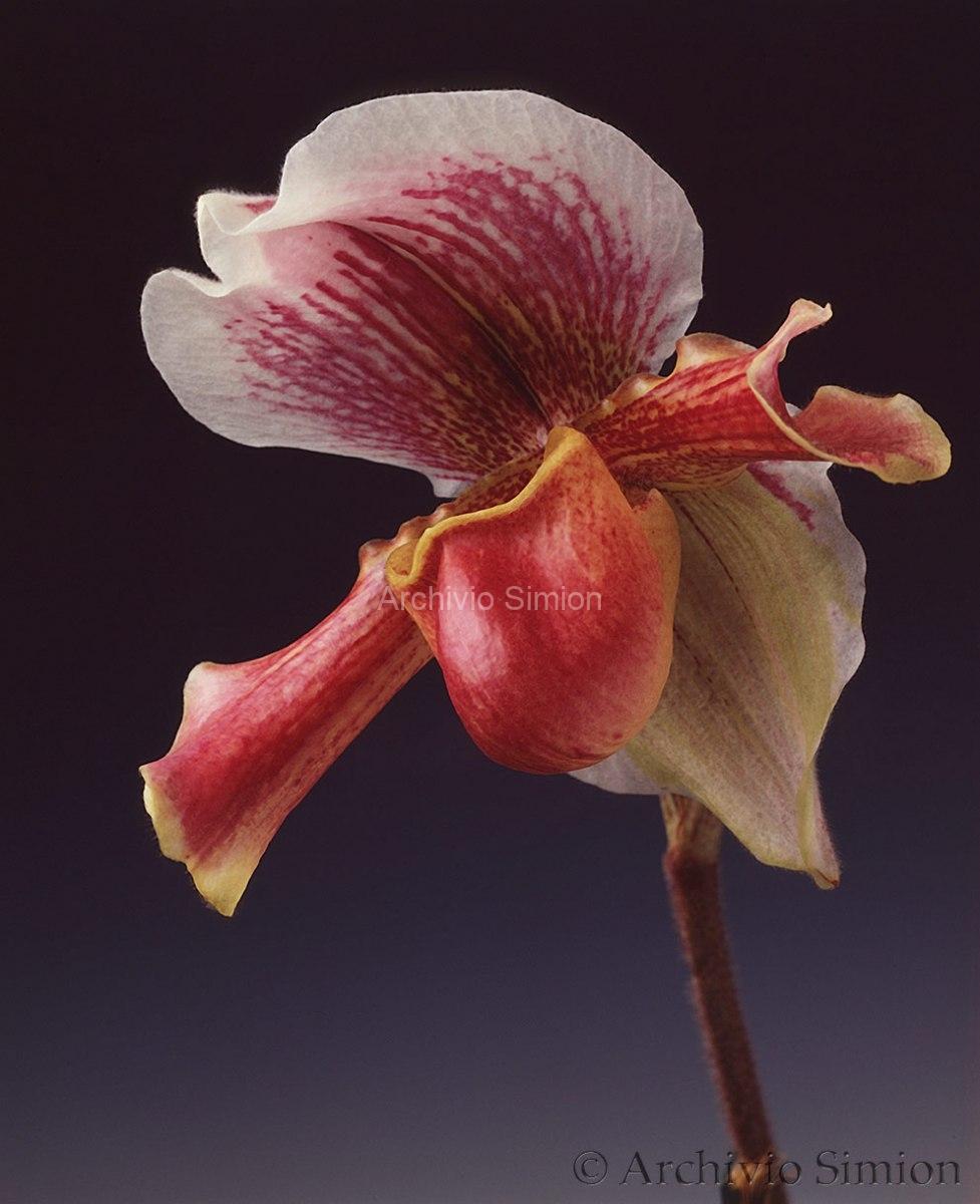 Botanica-fiori-orchidea-97